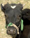 Afghan cow